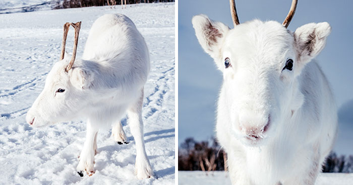 Extremely Rare White Baby Reindeer