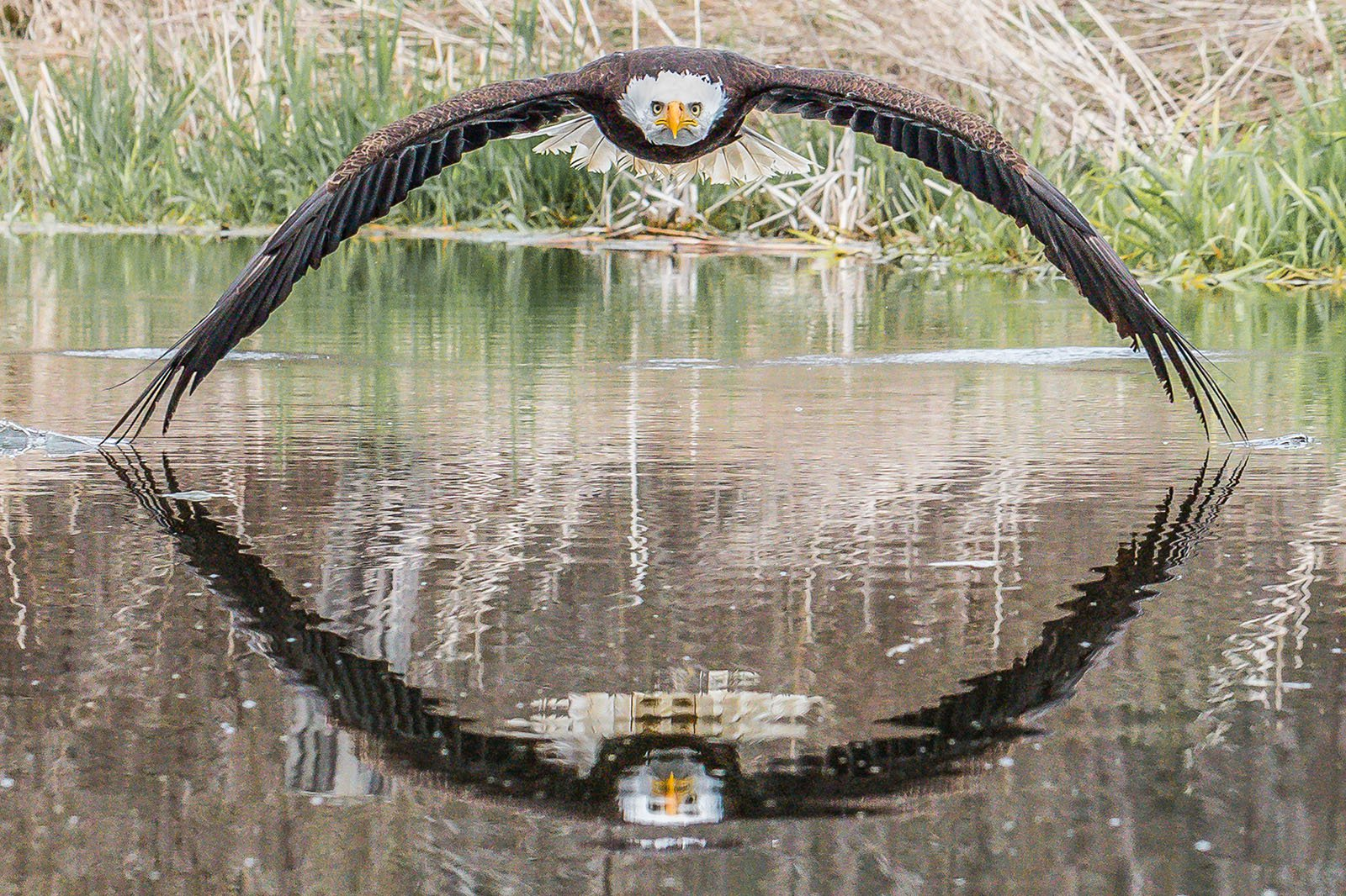 Bald Eagle with Symmetrical Reflection